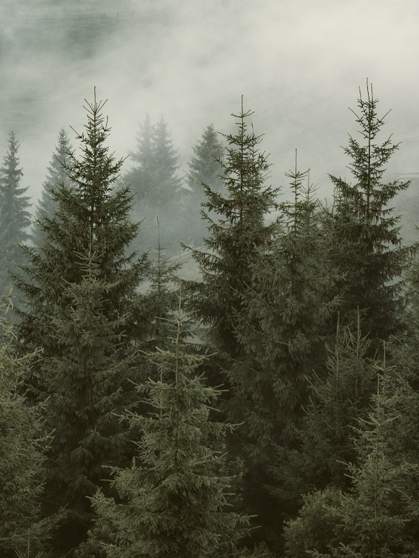 Trees in a forest planted by Kogu